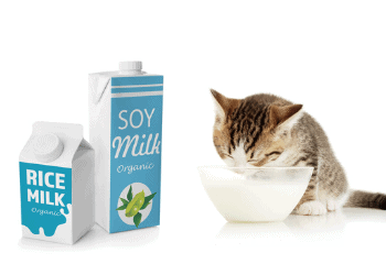 CAN Cats CONSUME VEGAN MILK ALMOND, SOY, OAT Or COCONUT And Other Dairy Substitutes
