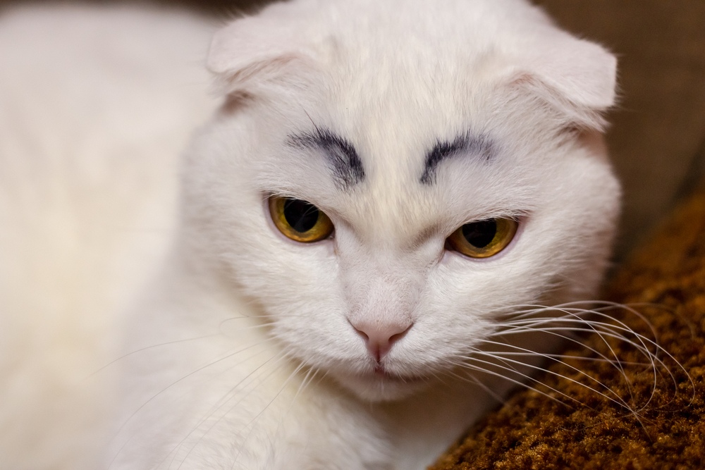 do cats have eyebrows, cat eyebrow whiskers
