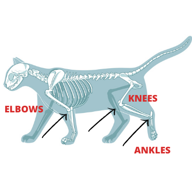 DO Cats Have KNEES? What About ELBOWS And ANKLES?